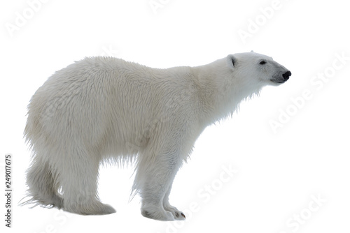 Deurstickers Ijsbeer Wild polar bear isolated on the white background