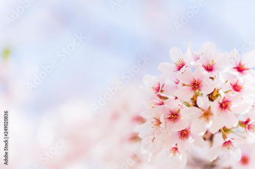 Aluminium Prints Blue sky 桜