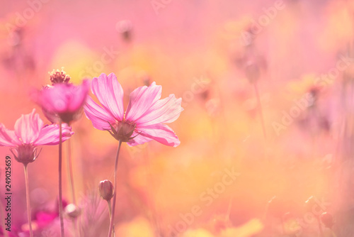 Poster Universe Cosmos flowers on sweet color blurred background