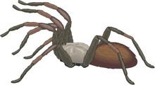 Tarantula Spider Vector Illust...