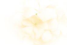 Plumeria Flower Background