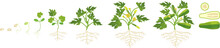 Life Cycle Of Zucchini Plant. Growth Stages From Seeding To Flowering And Fruit-bearing Plant