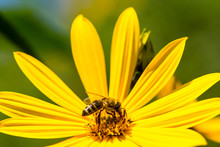 The Bee On The Yellow Daisy Flower