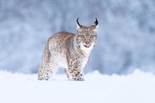 Young Eurasian Lynx On Snow. A...