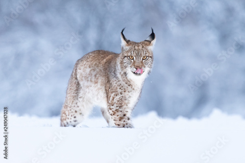 Foto op Aluminium Lynx Young Eurasian lynx on snow. Amazing animal, running freely on snow covered meadow on cold day. Beautiful natural shot in original and natural location. Cute cub yet dangerous and endangered predator.