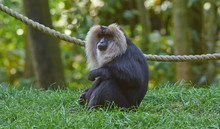Portrait Of Lion Tailed Macaque, Full Body, Close Up.