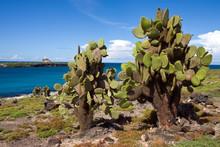 Giant Prickly Pear Cactus - Galapagos Islands - Ecuador