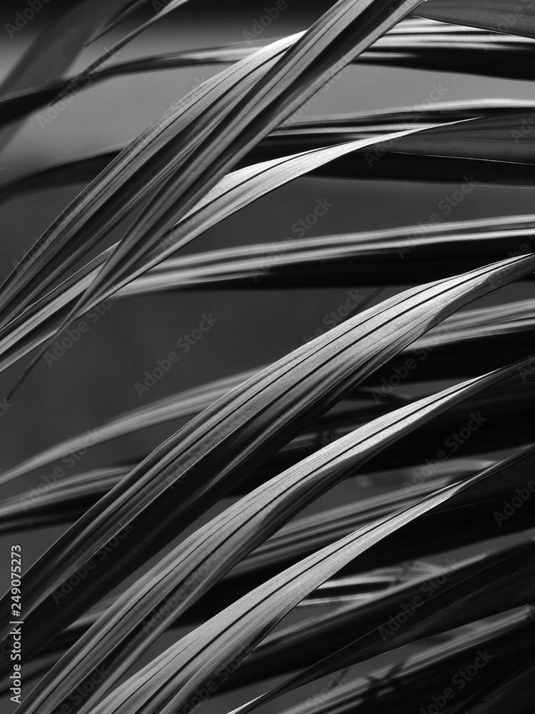 Fototapeta black and white palm leaf with light