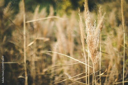 Fotografia  Spikelets grow in field. Vegetation of field or valley