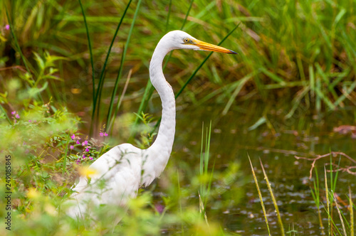 The great egret (Ardea alba), also known as the common egret, large egret or great white heron standing on fallen trees in the swamp Yala National park, Sri Lanka Canvas Print