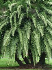 Panel Szklany Liście palm leaf tree in park