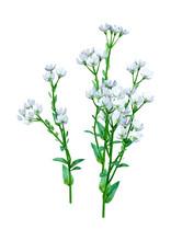 3D Rendering Berteroa Incana Flowers On White