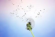 Dandelion, Nature, Change.