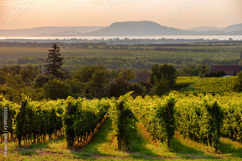Obraz na plátně Vineyards with the Lake Balaton and the The Badacsony mountain  at sunset in Hun