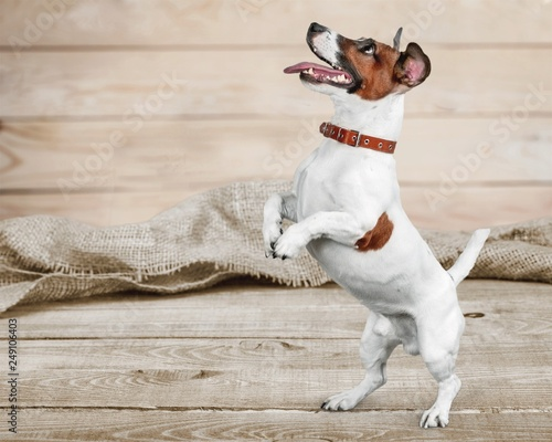 Fotografie, Obraz  Cute small dog Jack Russell terrier on white background
