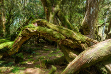 Moss-covered Oak Tree Trunk And Roots In Temperate Wet Forest