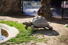 Seychelles Giant Tortoise (Ald...