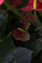 Dark Red Anthurium Laceleaf