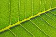 green tree leaf texture, the pattern of tree leaf, the leaf texture