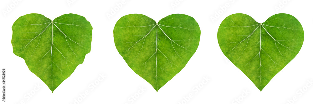 Fototapety, obrazy: heart shape leaf, set of ivy leaves isolated on white background (eco-friendly concept)