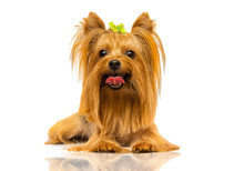 Yorkshire Terrier Dog Looks Up On A White Background
