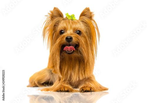 Obraz yorkshire terrier dog looks up on a white background - fototapety do salonu