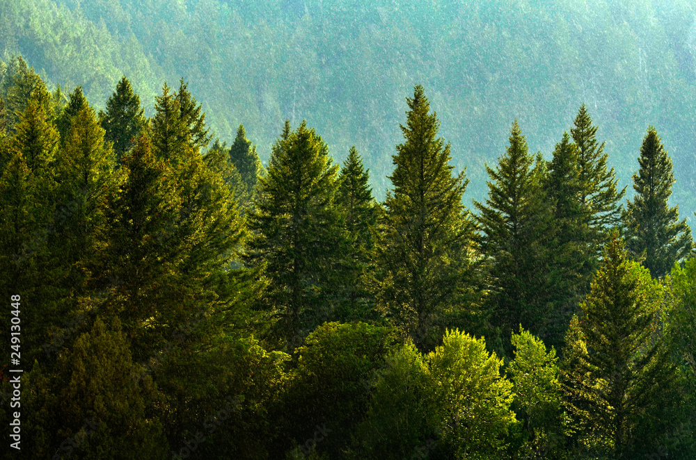 Fototapety, obrazy: Pine Forest During Rainstorm Lush Trees