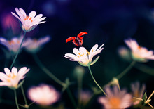 Beautiful Natural Background With Little Red Ladybug Taking Off With Delicate White Flower Spring Bright Evening