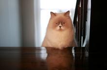 Bad Mood Creamy Persian Cat