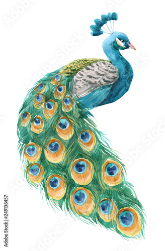 Carta da parati Watercolor peacock illustration
