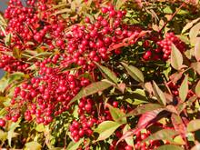Nandina Domestica - Baies De Couleur Rouge Vif Du Bambou Sacré En Hiver