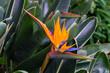 canvas print picture - Paradiesvogelblume - Strelitzia