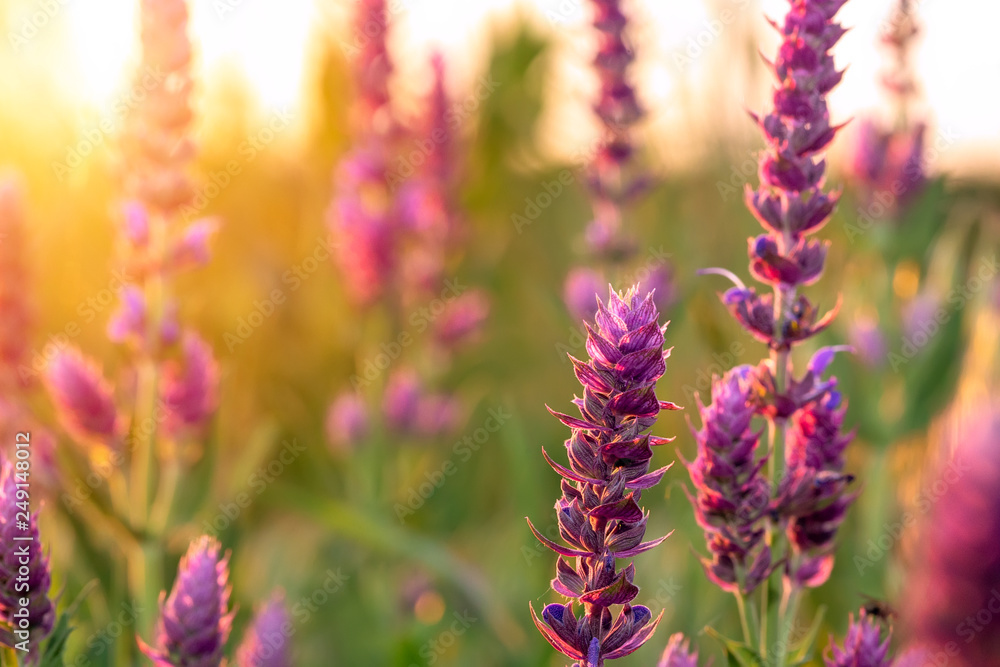 Fototapety, obrazy: Clary sage plant in garden