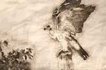 Sketch Of A Red-Tailed Hawk Ta...