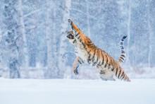 Tiger Portrait In Cold Winter....