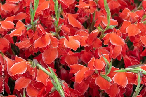 Photo Gladiolus