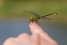 Green Dragonfly Ophiogomphus C...