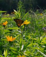Monarch Butterfly On Yellow Wildflower In A Sunny Field
