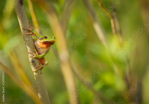 Nice green European tree frog, Hyla arborea, sitting on stick in Czech Republic Canvas Print