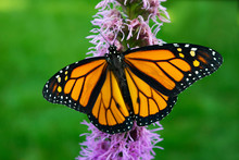 Monarch Butterfly With Wings O...