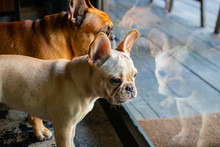 French Bulldog Couple Looking ...