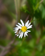 White Aster With Bee Pollinator