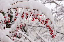 The Barberry Bush With Berries Covered With Snow