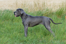The Blue Great Dane Dog In Grass