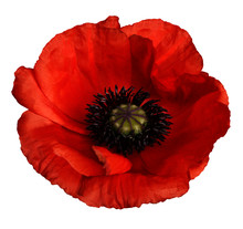 Red Poppy Flower On A White Isolated Background With Clipping Path.   Closeup.  No Shadows.  For Design.  Nature.