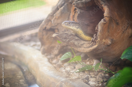 Photo  The king cobra (Ophiophagus hannah), also known as hamadryad, is a species of venomous snake in the family Elapidae