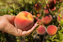 Female Hand Holding A Large Ripe Peach, Against The Background Of A Peach Orchard
