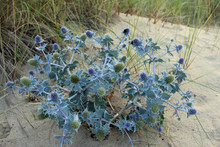 Sea Holly On Sand Dune