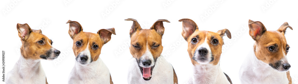 Fototapety, obrazy: Closeup emotion Portraits of dog Jack Russell Terrier, standing in front, isolated on white