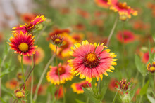 Blanketflower Gaillardia Meadow